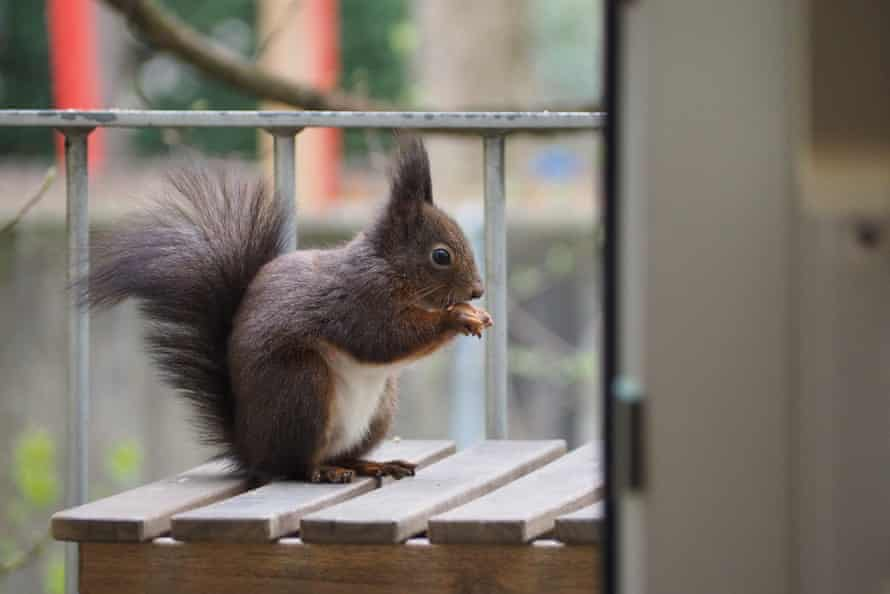 A bold squirrel enjoying nuts left out to tempt it, Munich.