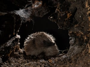 Hedgehog exploring a log by Cate Barrow