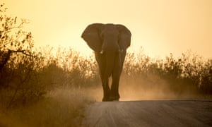 Bull elephant, silhouetted by the sunrise.