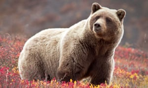 Two bear attacks in a few days have left two men in hospital in Alaska.