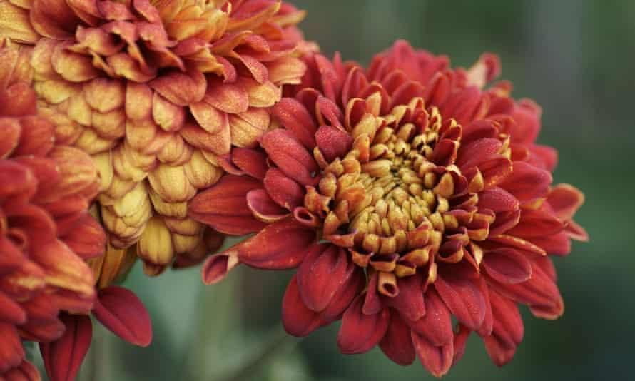 Chrysanthemum 'Karen Taylor'.