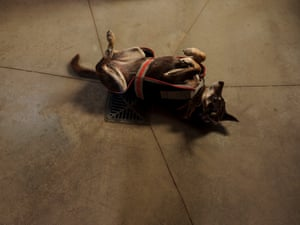 Ruby, a rescued kelpie who has lived at Edgar's Mission since 2009, enjoys a roll on the barn floor