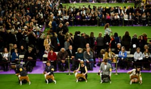 A group of Basenjis and their handlers wait for their judging