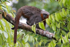 The fire-tailed titi monkey, or Milton's titi, in the southern Amazon.