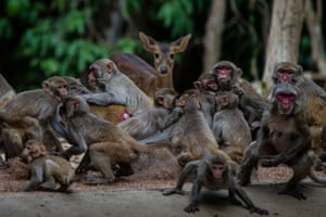 Monkeys scrambling for food during feeding time at the Hlawga wildlife park on the outskirts of Yangon. The Myanmar facility remains closed during the coronavirus pandemic