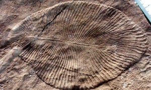 A typical specimen of Dickinsonia costata: a genus of iconic fossils of the Ediacaran biota. Their bilaterally symmetrical ribbed oval shape may have given them a mattress-like appearance.