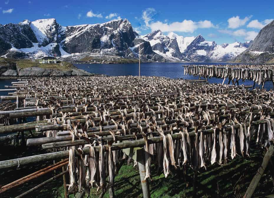 Drying cod in the Lofoten Islands