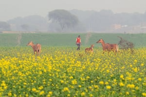 Indian nilgai, the largest of the Asian antelopes also known as blue bulls, in a mustard field in Jhunsi village on the outskirts of Allahabad
