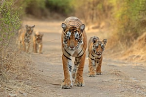 A mother Bengal tiger and her cubs at Ranthambore tiger reserve in Rajasthan, India