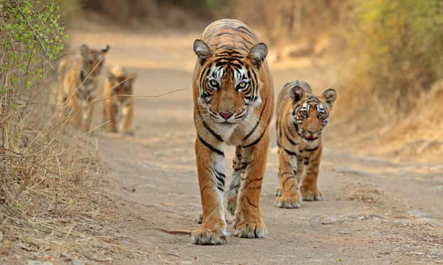 A female tiger and her cubs.