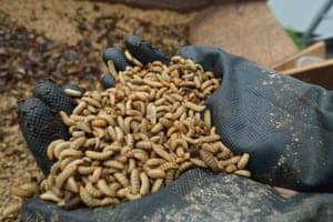 The larvae of black soldier flies provide an alternative to wild-caught fish for making animal feed.