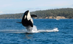 Granny, the orca matriarch who may have been as old as 105 when she died.