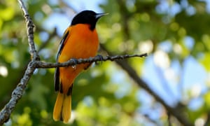 If the world experiences 3C warming, the Baltimore oriole is predicted to lose 57% of its wintering habitat range, while also facing threats from fire weather, spring heat, heavy rain and urbanization.
