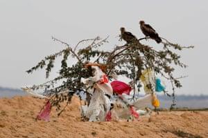Black kites sit on a tree among plastic bags in the Negev desert near Rahat, Israel