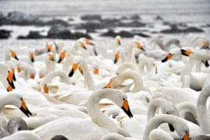 Swans gather to winter in Rongcheng, east China