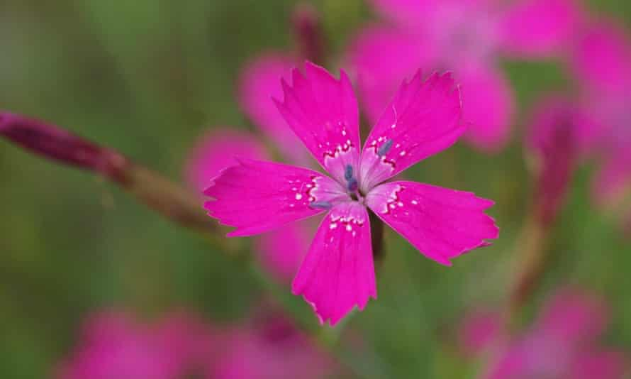 Maiden pink grows only at a few places in Breckland in East Anglia.