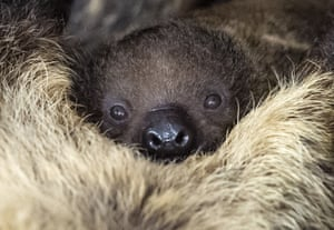 A week-old baby sloth relaxes at Halle city zoo