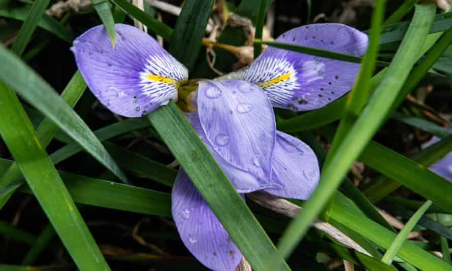 Algerian iris