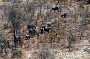 Elephants roam the plains of the Chobe district in the northern part of Botswana. The country has rejected claims that there has been a surge in elephant poaching