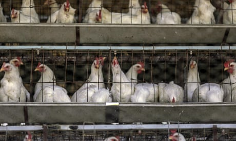 If consumers knew how farmed chickens were raised, they might never eat their meat again