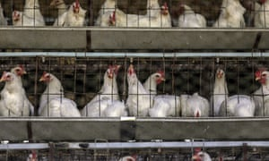 If consumers knew how farmed chickens were raised, they