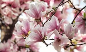 Pink magnolia in sunlight