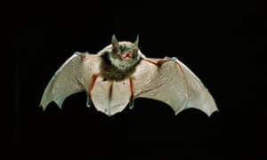 A young Yuma myotis bat flying at night in Rogue River-Siskiyou National Forest, Oregon.