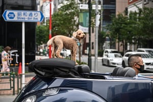 Tokyo, Japan: a dog rides in the back of a convertible car