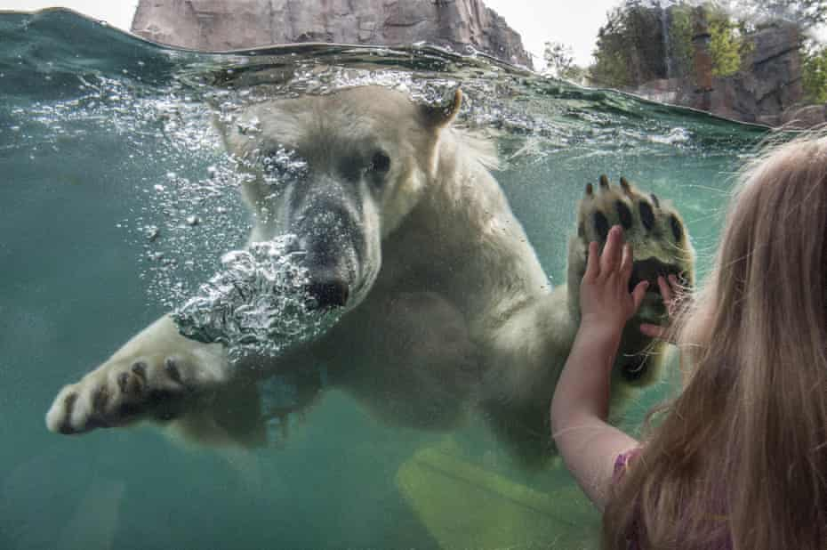 Paws for thought … a visitor with a polar bear at Hanover zoo's Yukon Bay.