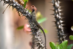 An oriental garden lizard waiting for its prey on a cactus plant in Nagaon, India