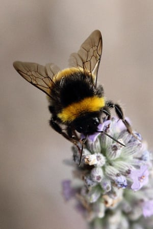 'This photo was taken a few years ago in my front garden, as the bee was investigating our lavender. I love the detail you can see on its wings and the hairs on its legs.'