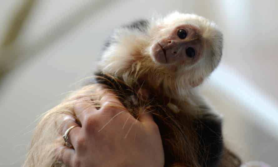 The young capuchin monkey that German authorities confiscated from Justin Bieber in 2013.