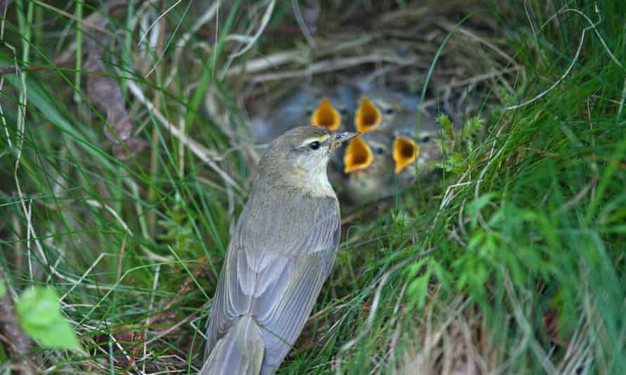A family of willow warblers at a summer nest site in Scotland.