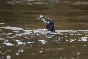 A cormorant catches a fish.