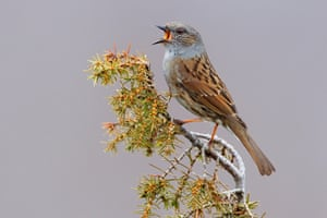 The amber-listed dunnock.