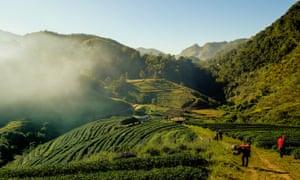 tea plantation terrace Thailand