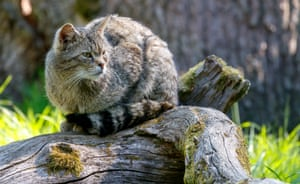 A wildcat in his enclosure at the animal park in Weilburg, Germany