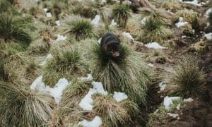 A Tasmanian devil in the snow at Devils at Cradle sanctuary in Tasmania