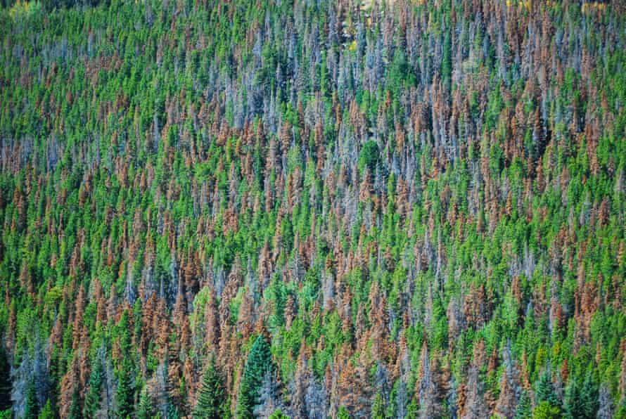 A portion of a White Bark Pine forest. The different colors show various levels of damage done to the trees by a combination of Mountain Pine beetles and climate change.
