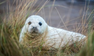 A grey seal pup in grass at Donna Nook nature reserve in Grimsby.