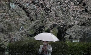 Snow and cherry blossoms in Tokyo.