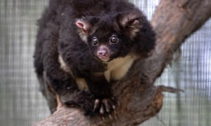 A greater glider.