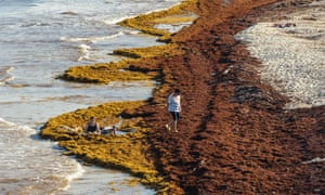 An aerial view of sargassum accumulated in the tourist area of the Fundadores park beach in Playa del Carmen, Mexico. Sargassum is a type of microalgae
