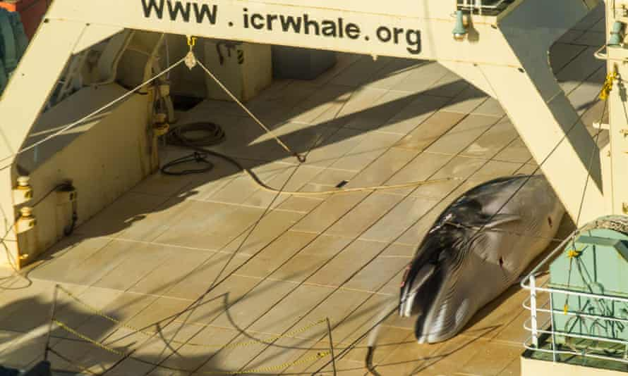 An image taken from a helicopter of a minke whale onboard the Nisshin Maru, part of the Japanese whaling fleet.