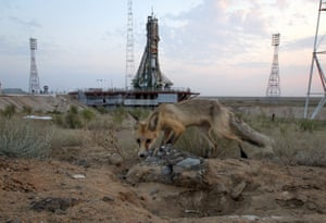 A wild fox walks in front of a launch pad prior the launch of the Russian Soyuz space capsule carrying three astronauts to the International Space Station