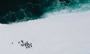 Adelie penguins (Pygoscelis adeliae), which may prove to become the antipodean emblem of climate change. This species has made the news at various times over the past few years as their colonies have increasingly become affected by varied and unexpected patterns in ice breakup and dispersal