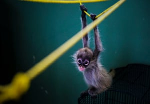 A spider monkey called Erica hangs from a rope at the shelter for rescued animals at the National Zoo in Managua, Nicaragua.