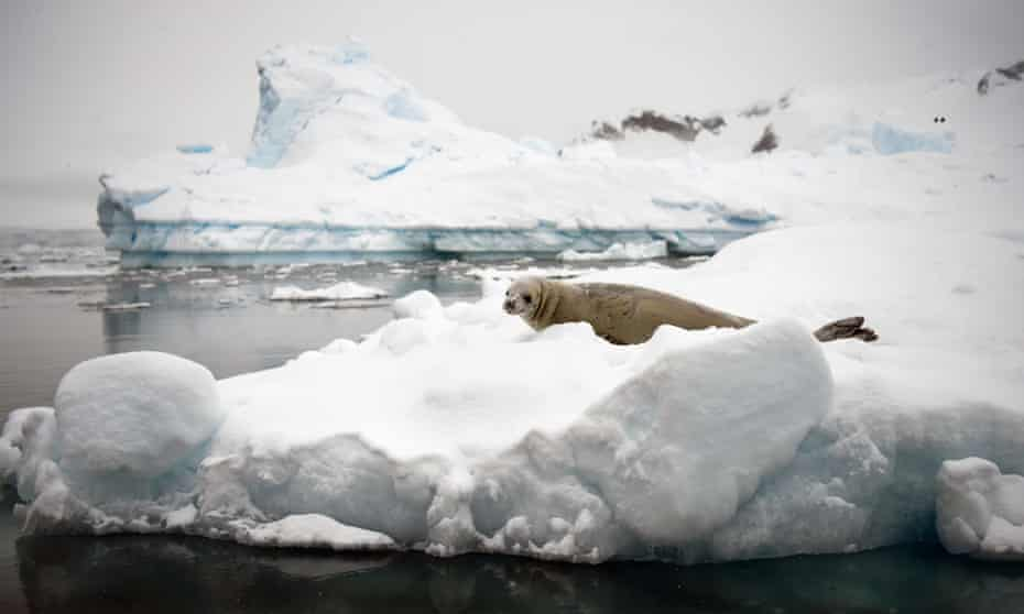 A Weddell seal rests on an ice floe in the western Antarctic peninsula.