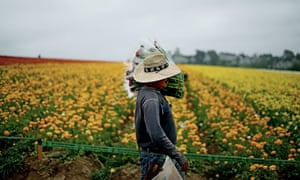 A farm worker in Carlsbad. California has the country's most expansive 'sanctuary' law, restricting police from questioning people about their citizenship status.