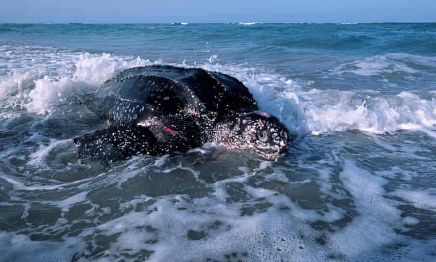 A leatherback turtle in Florida.